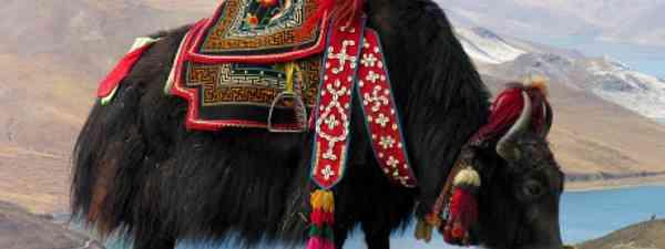 Tibetan Yak (Archer10)