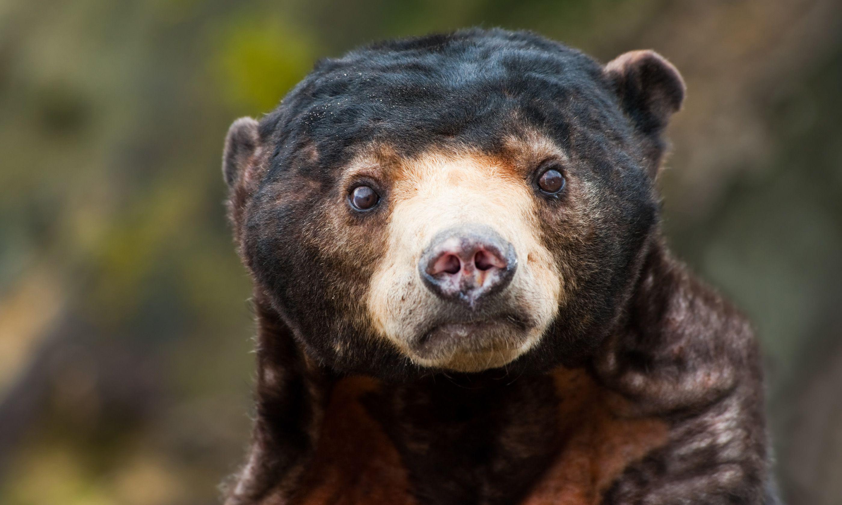 Sun Bear (Shutterstock.com)