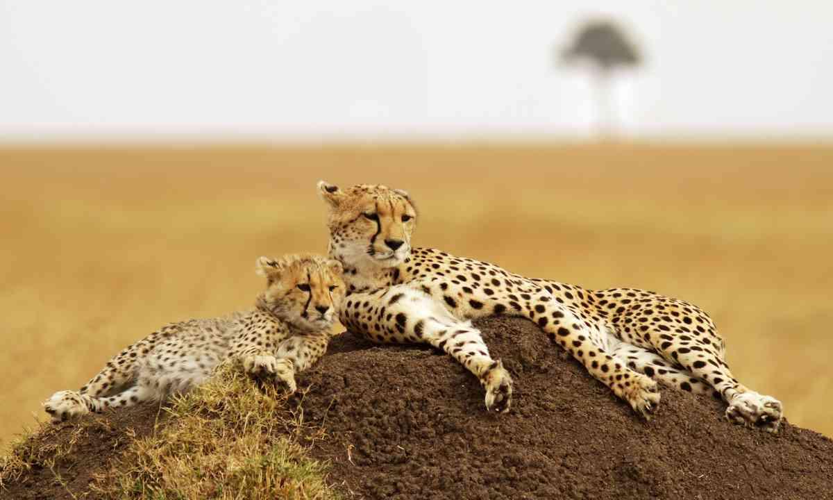 Masai Mara cheetahs (Dreamstime)