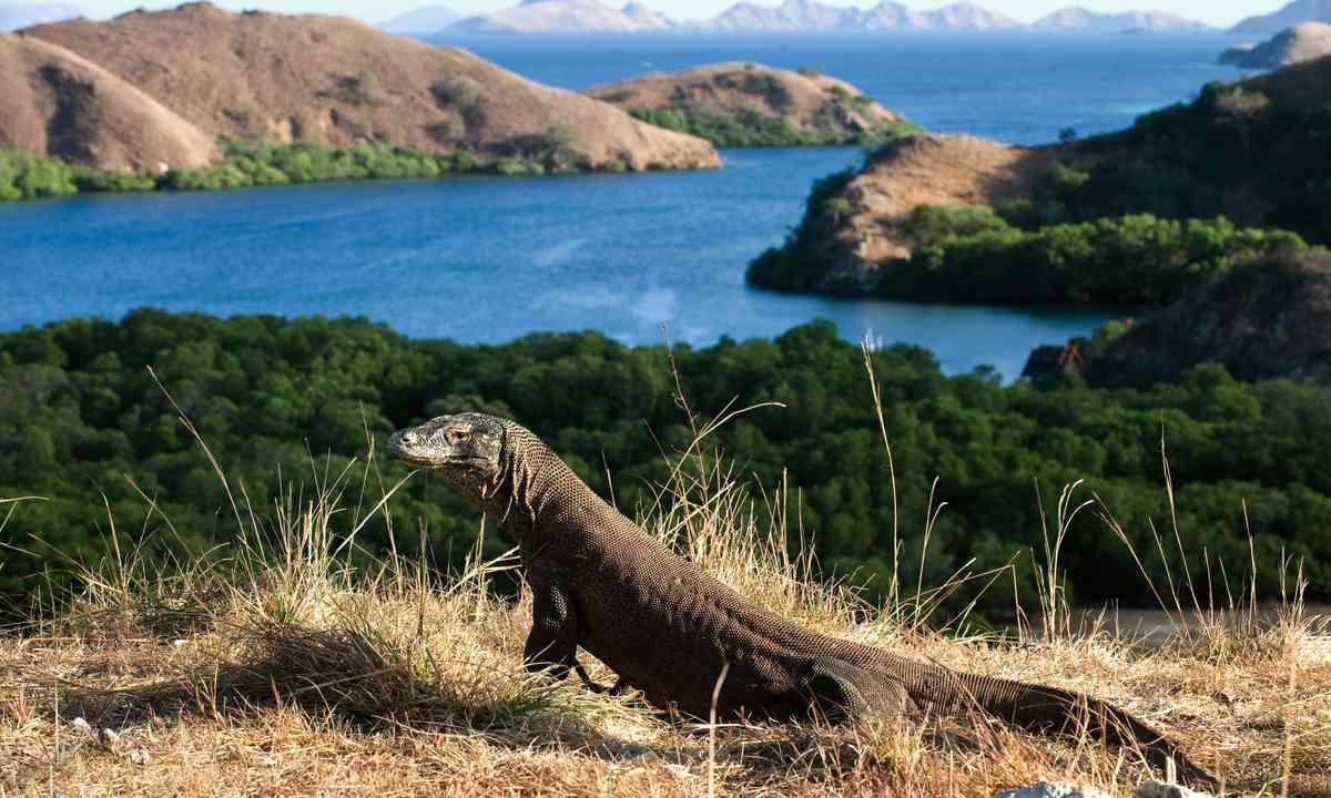 Komodo dragon (Dreamstime)