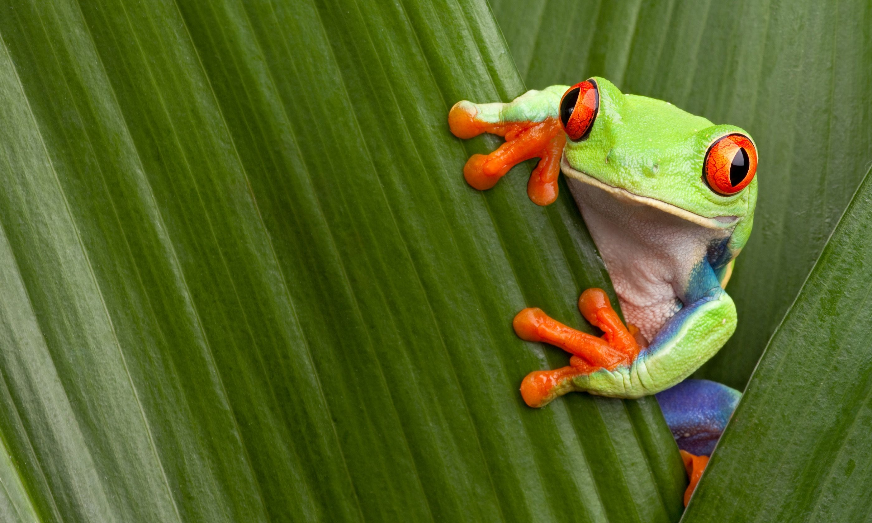 A Red-Eyed Tree Frog in Costa Rica (Dreamstime)