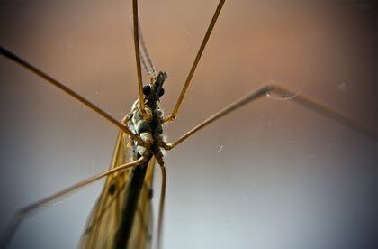 Mosquito (istockphoto)
