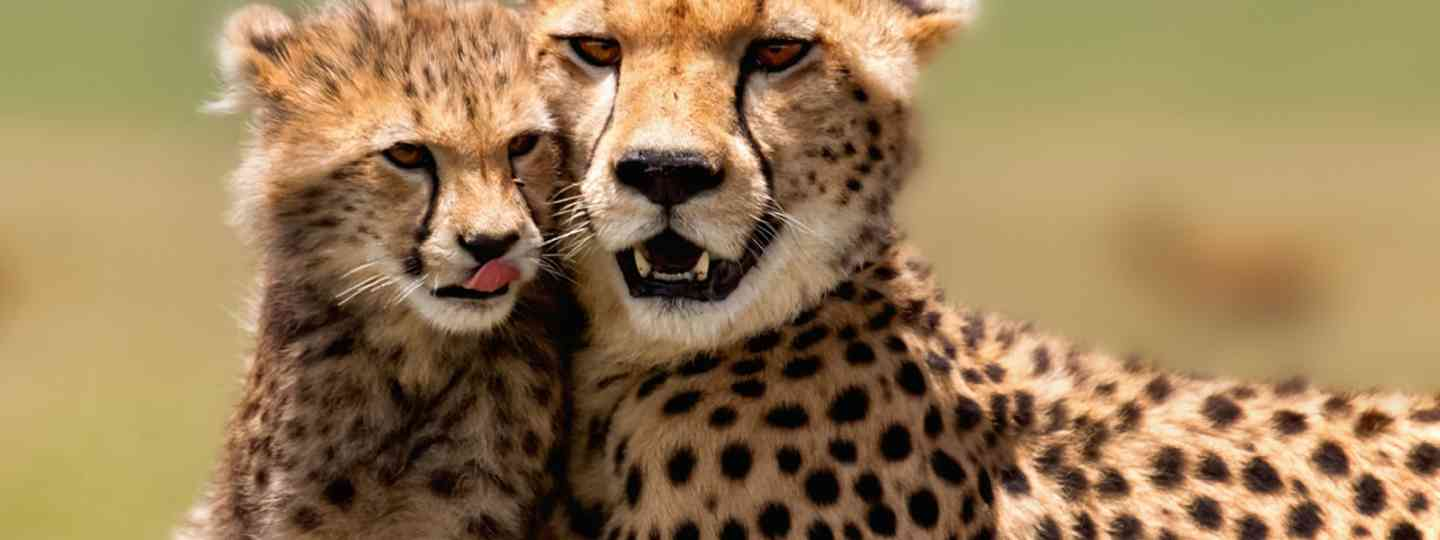 Cheetah mother and cub in Kenya (Dreamstime)