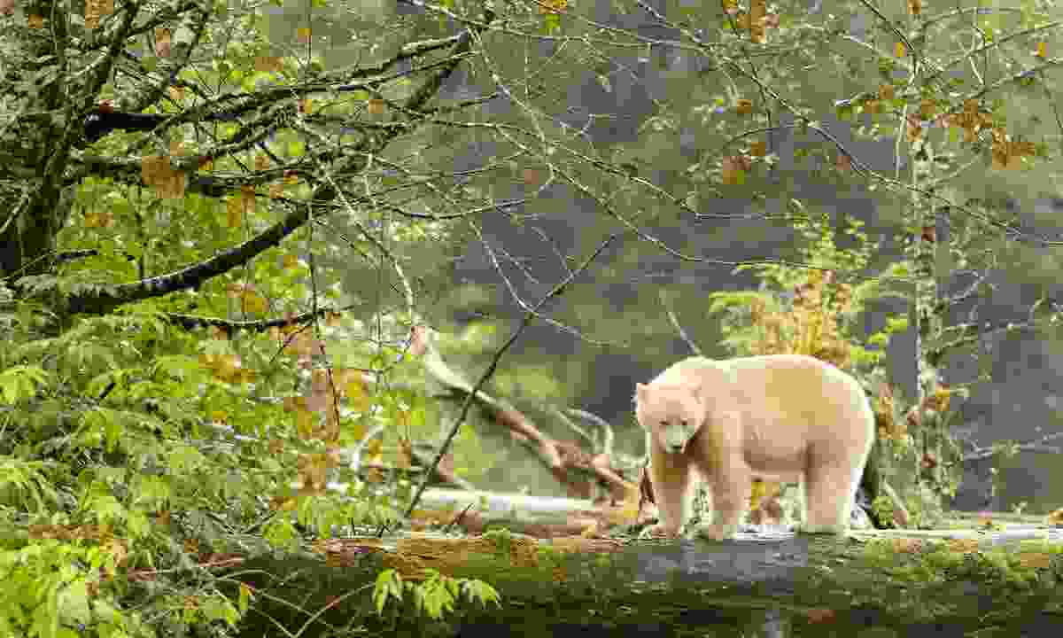 Spot stunning spirit bear (Shutterstock)
