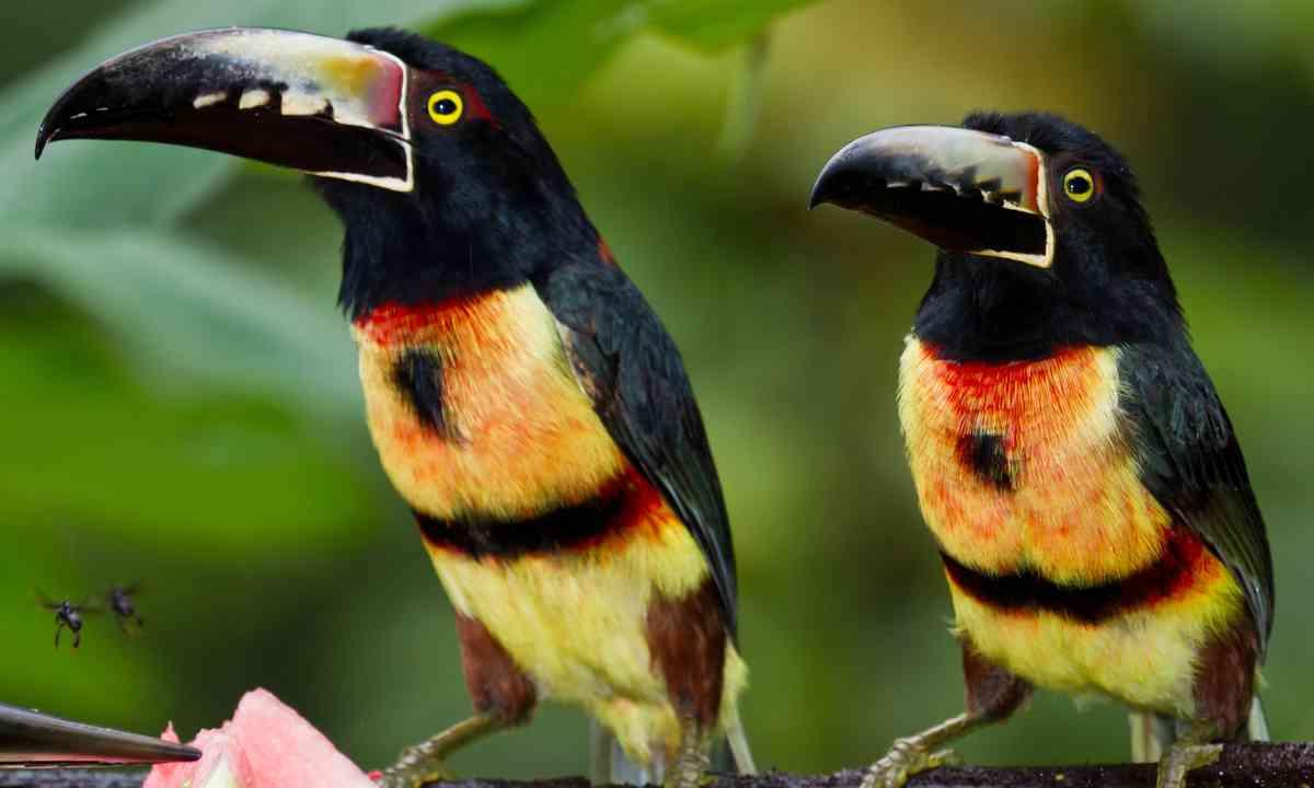 Aracari toucan, Belize (Shutterstock.com)