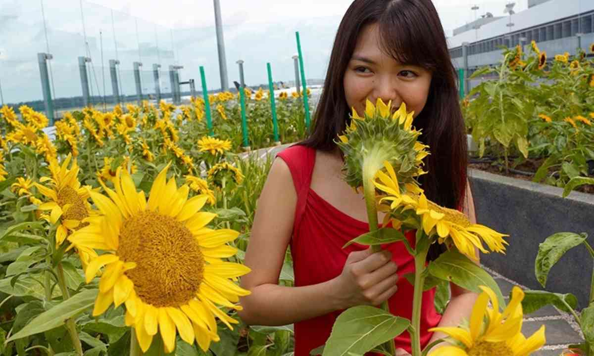 Sunflower Garden (Changi Airport)