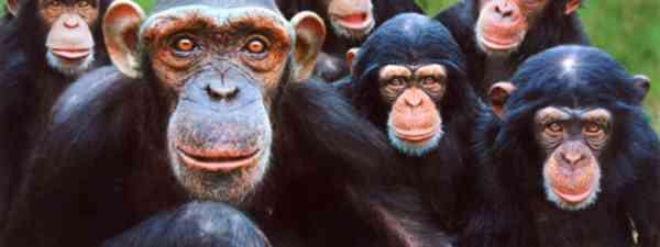 A family of chimps (wiki images)