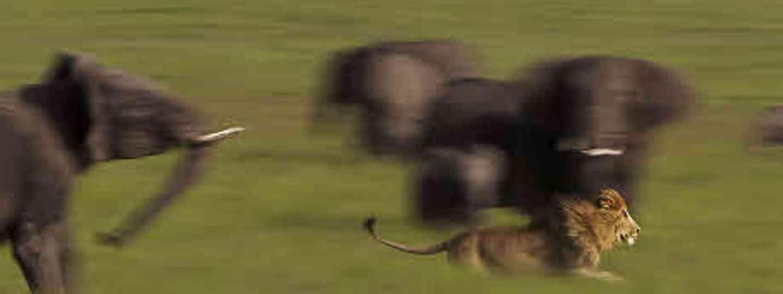 Lion on the run (Masai Mara, Kenya) by Angela Osborne