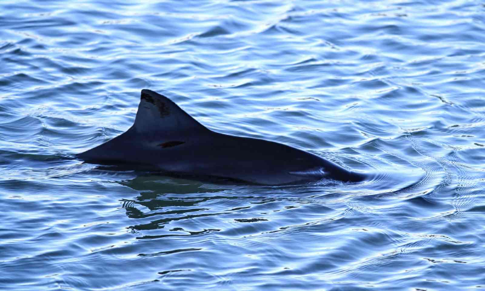 Harbour porpoise in Scotland (Shutterstock)
