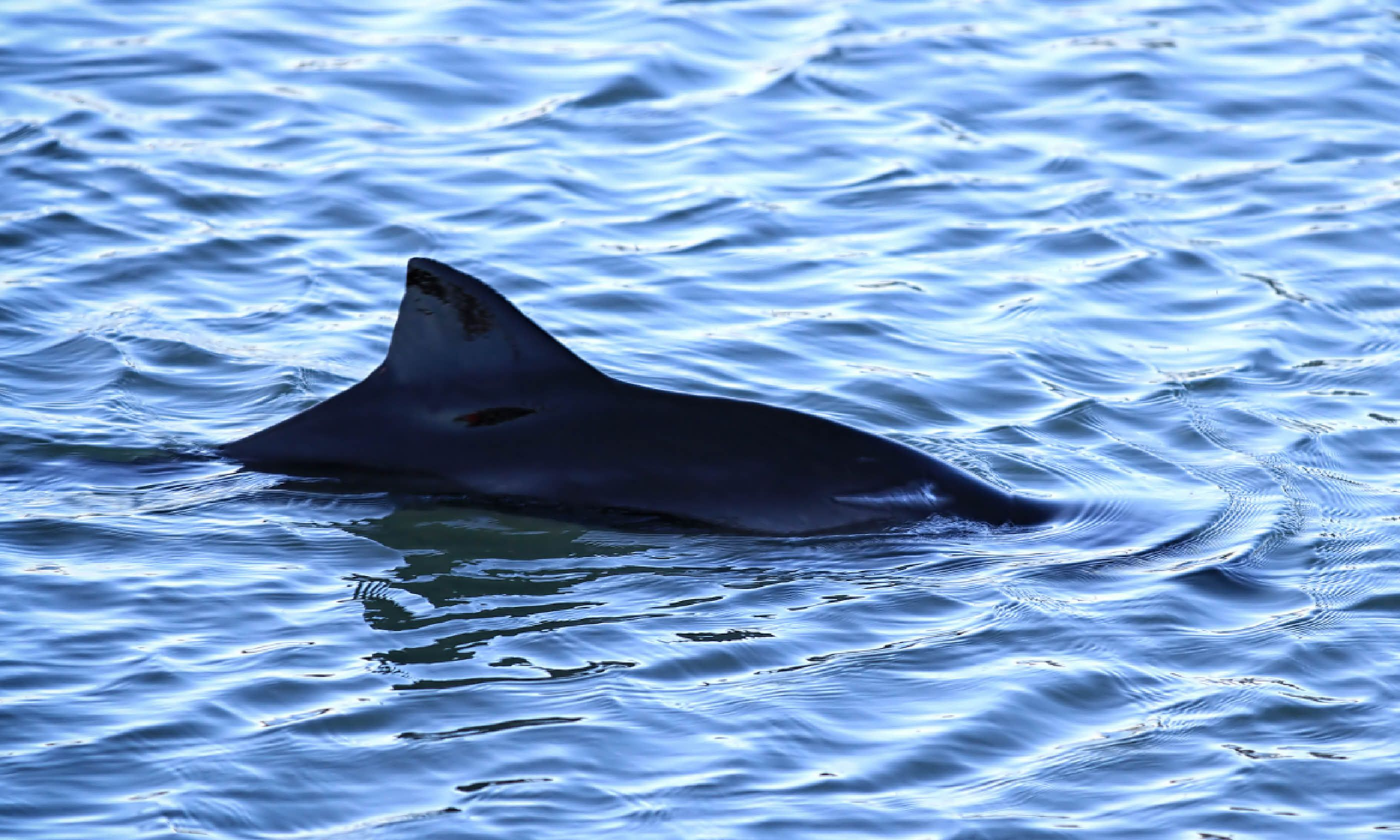 Harbour porpoise in Scotland (Shutterstock)