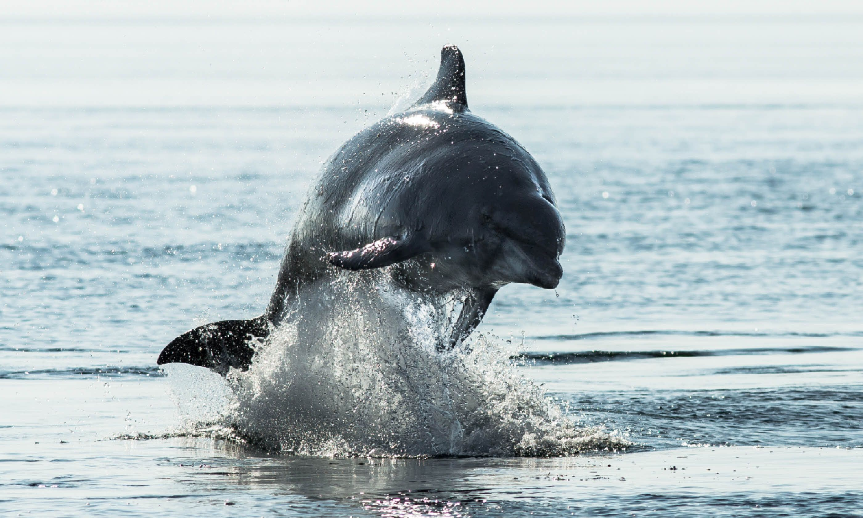 Bottlenose dolphin at Chanonry Point (Dreamstime)