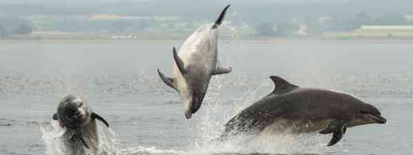 Dolphins at Chanonry Point (Dreamstime)