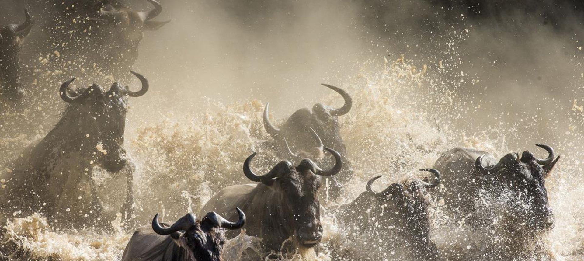 Big zebra herd during the great migration. Serengeti, Tanzania (dreamstime.com)