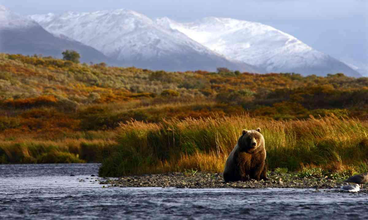 Brown bear, Kodiak Island (Shutterstock.com)