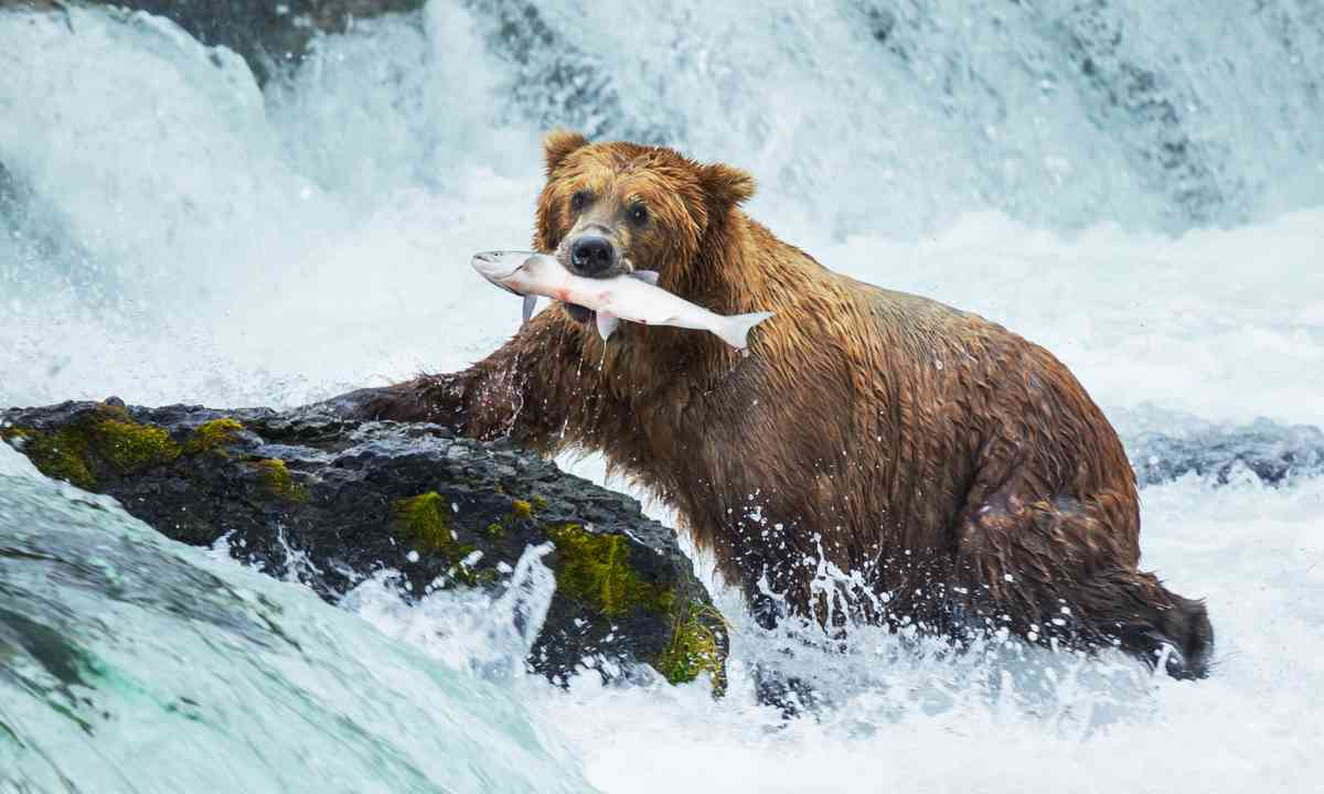 Bear catching salmon (Shutterstock.com)