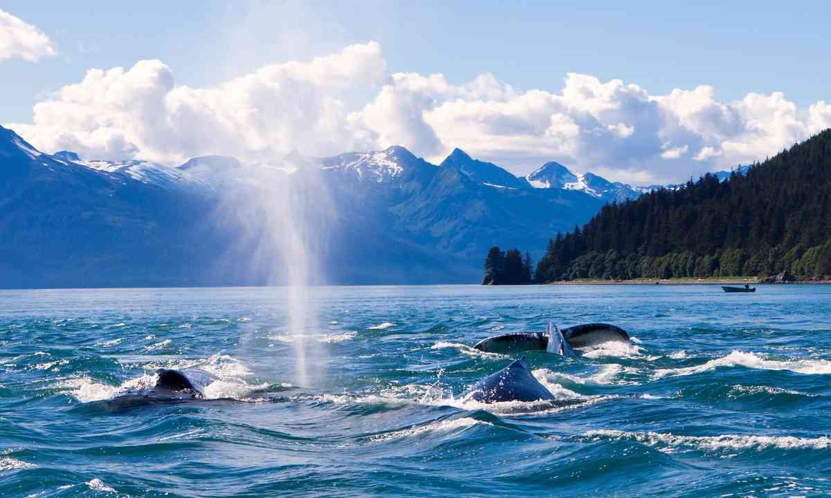 Humpback whales in Juneau, Alaska (Shutterstock.com)