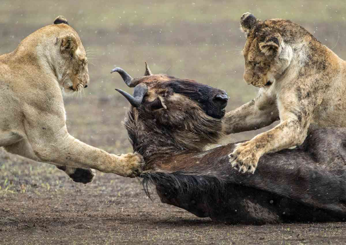 Lions hunting in Ngorongoro Crater (Julia Wainwright)