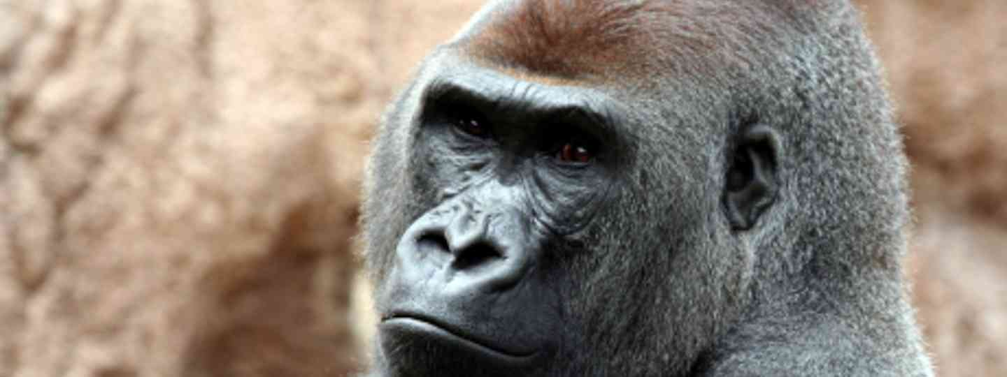 Mountain gorillas are often the most well-known species (Dreamstime)