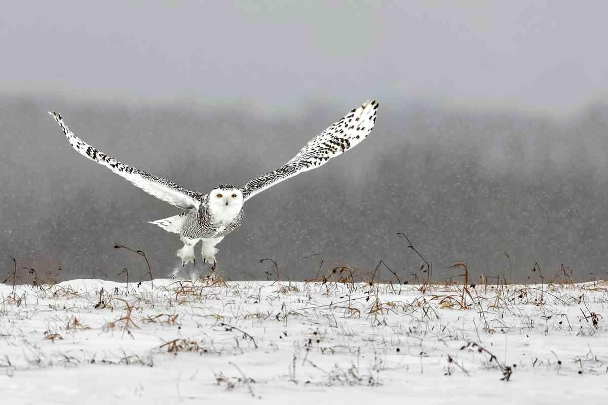 Snowy owl in Canada (Giovanni Frescura)