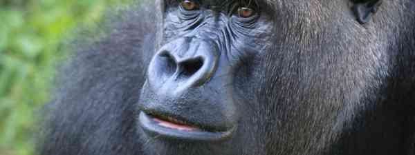 Gorilla at Durrell Wildlife Park, Jersey (Jersey tourist board)