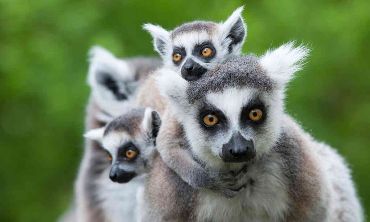 Family of ring-tailed lemurs (Shutterstock.com)
