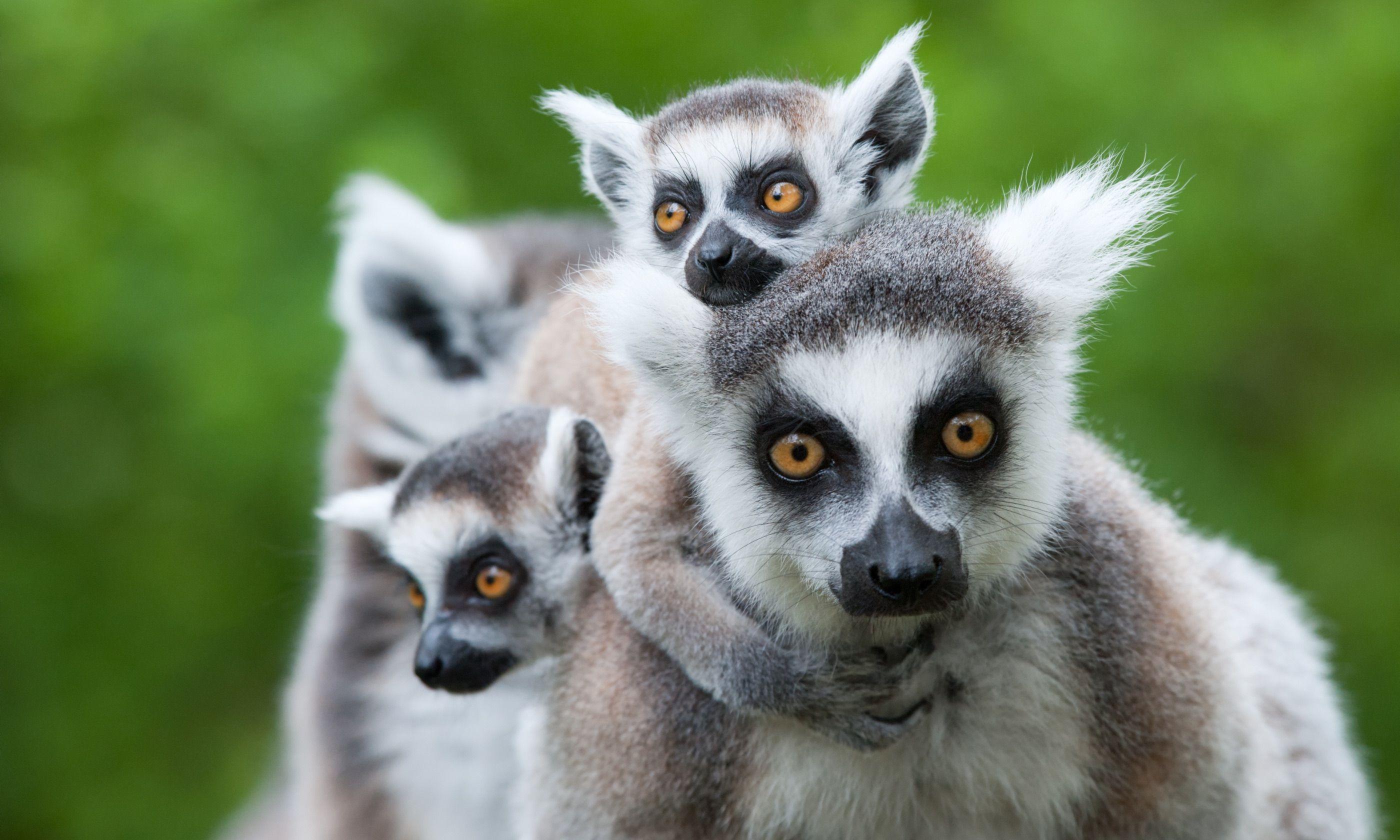 Family of ring-tailed lemurs (Shutterstock.com)
