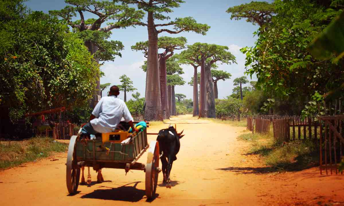 Zebu cart through Baobab Alley (Shutterstock.com)