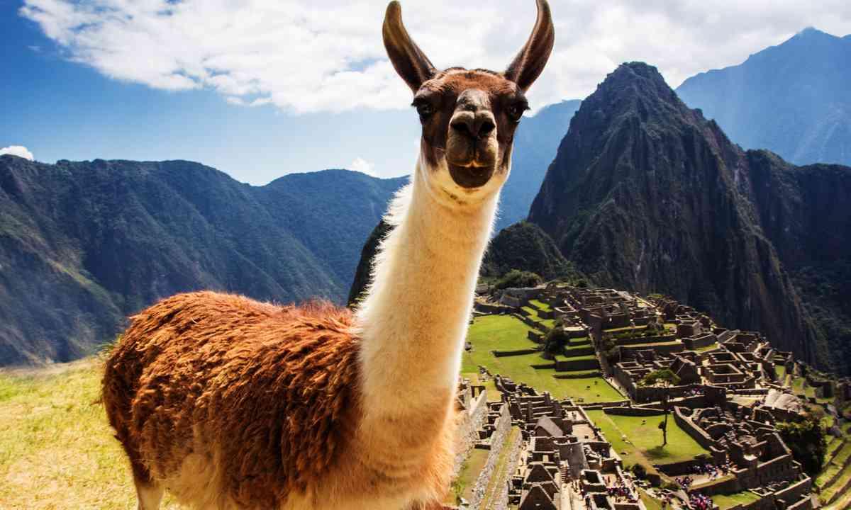 Llama at Machu Picchu (Dreamstime)