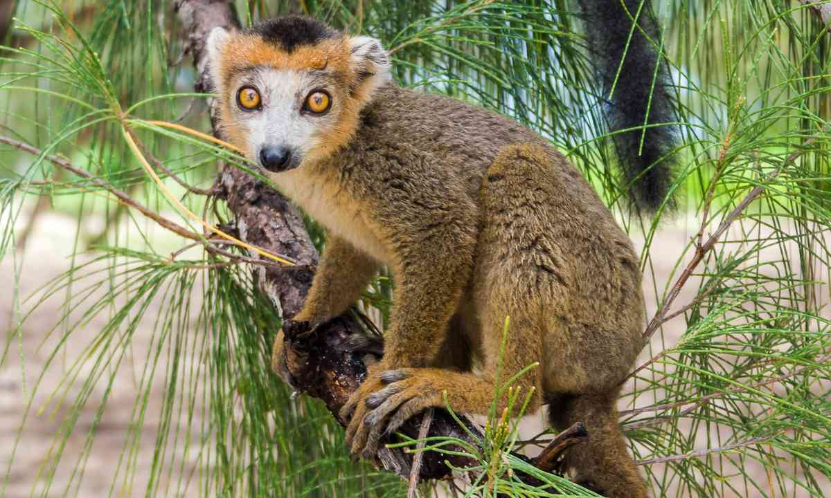 Crowned lemur (Shutterstock.com)