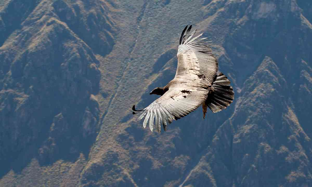 Condor flying above Colca Canyon (Shutterstock.com)