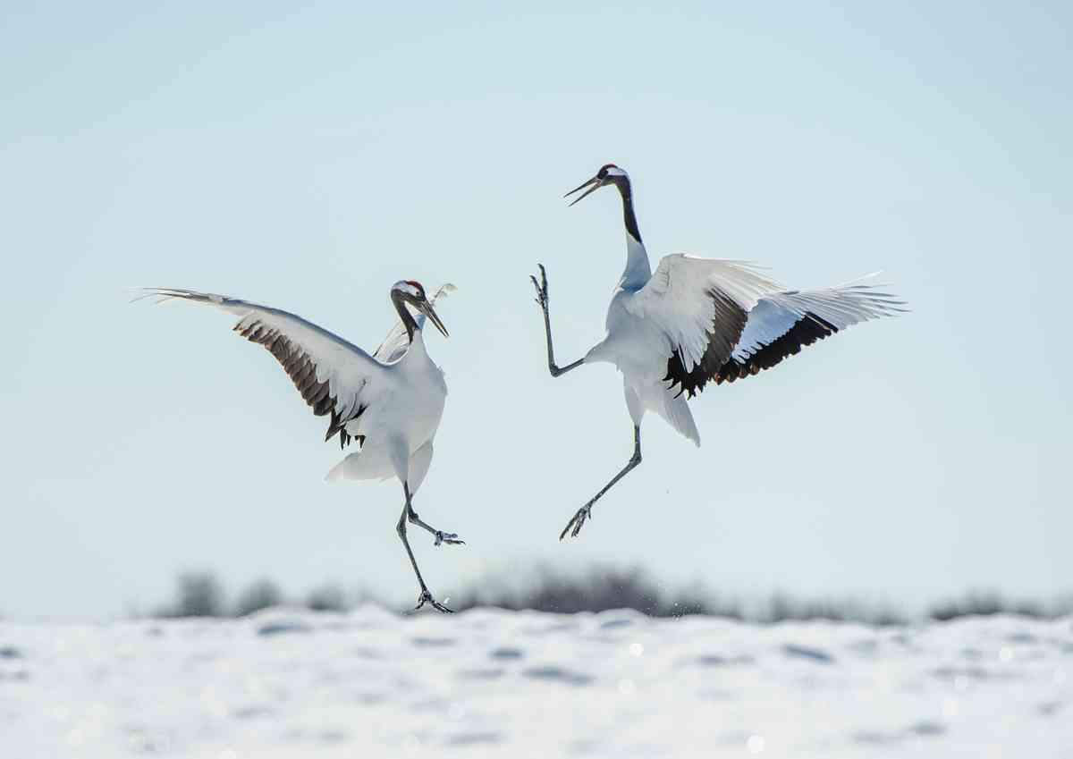 Red Crowned cranes dancing in Japan (Ray Hems)