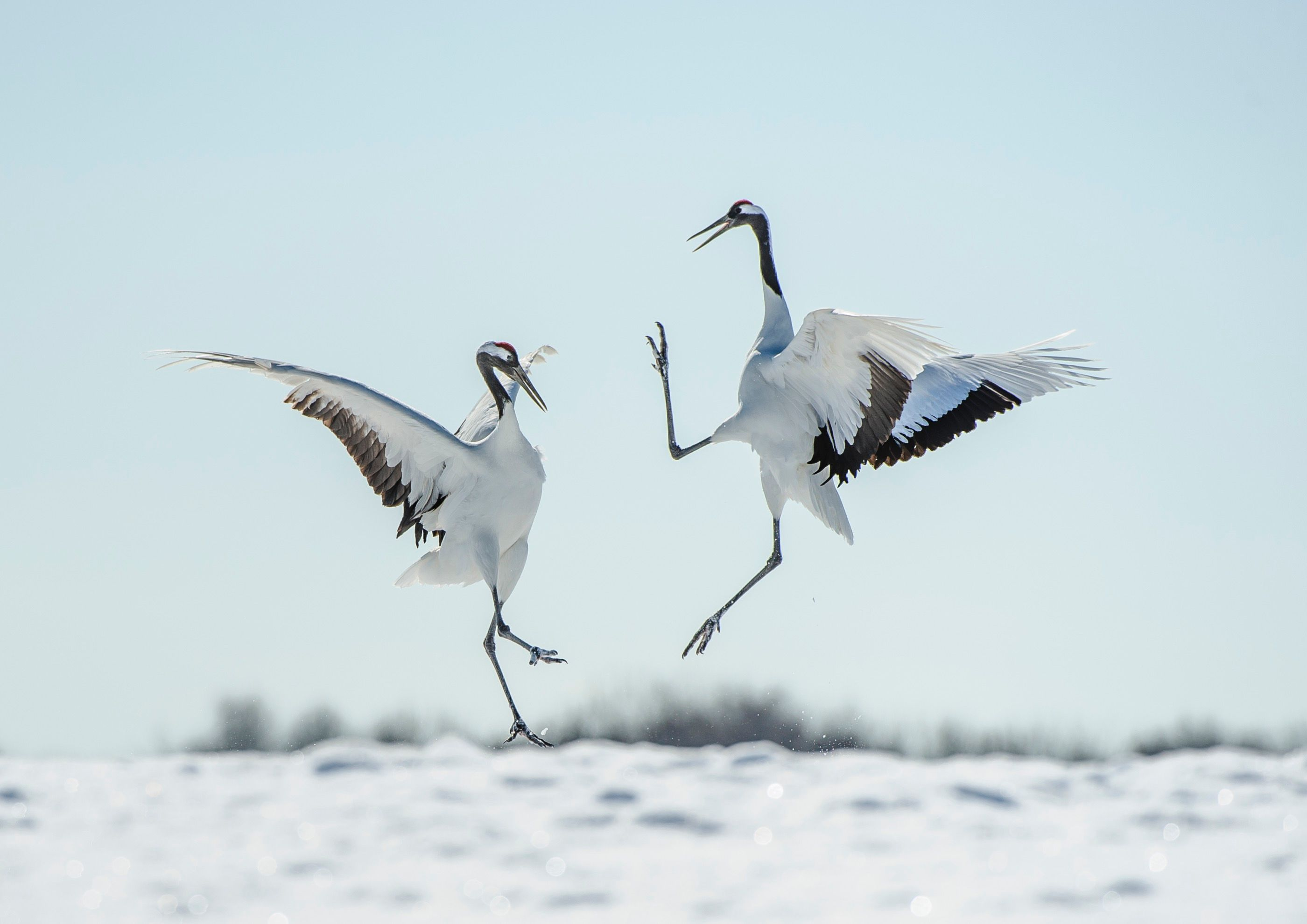 Red Crowned cranes dancing in Japan (Ray Hems)