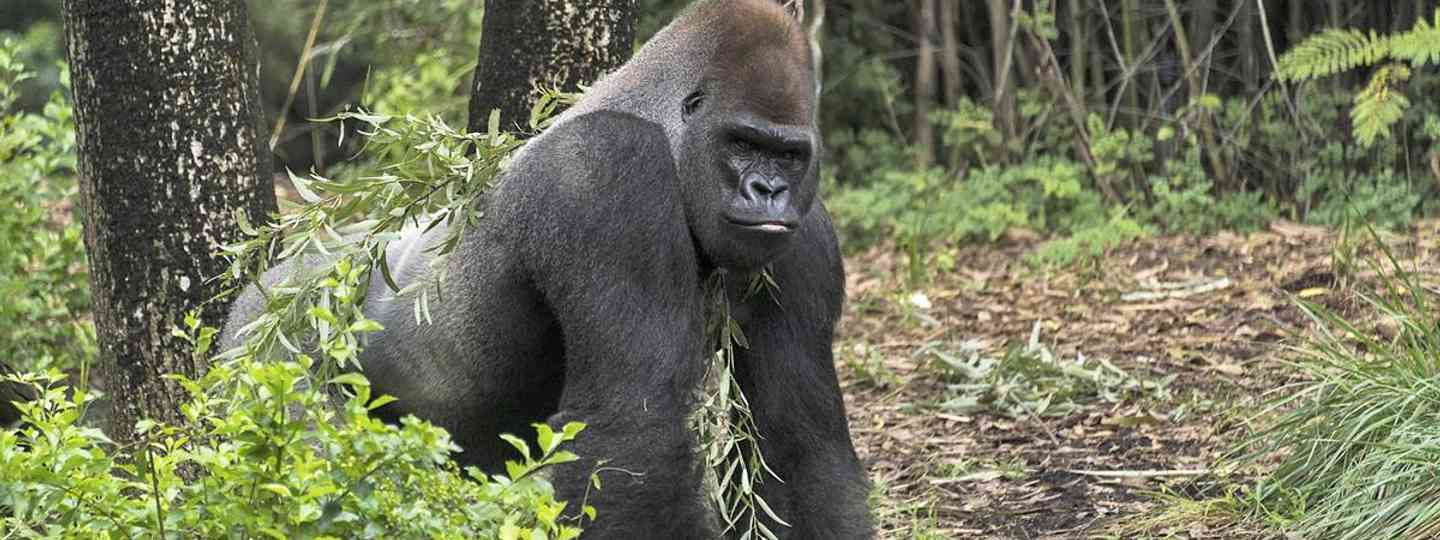 Gorilla watching really does make for the trip of a lifetime (Dreamstime)