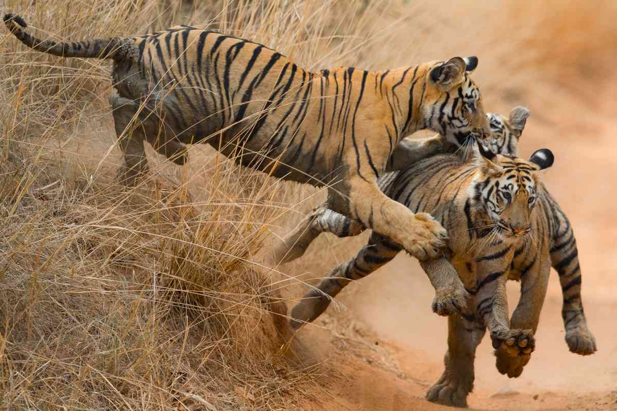Tigers playing chase in Tadoba National Park (Greg Poole)