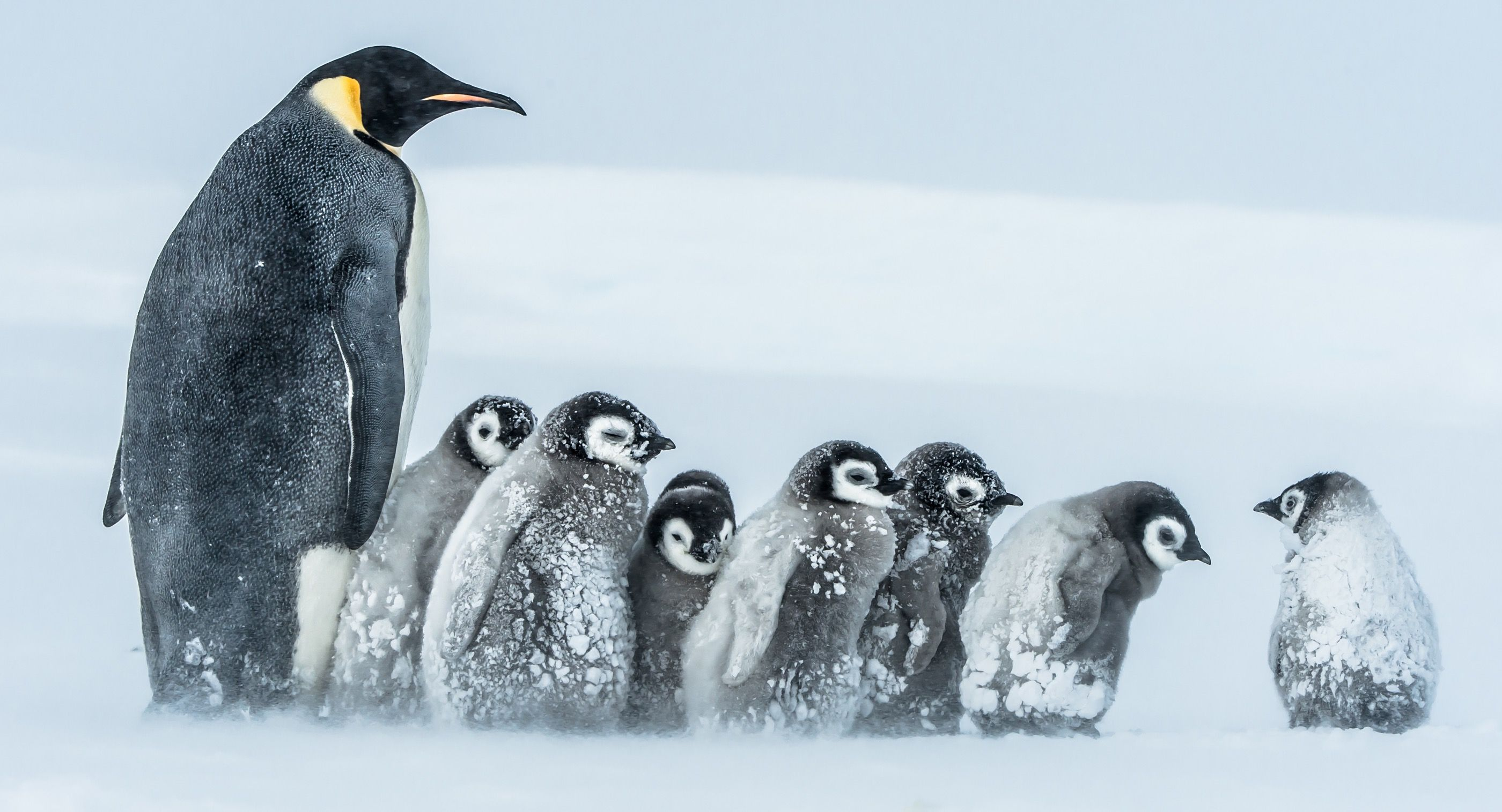 Emperor Penguin and chicks (Gunther Riehle)