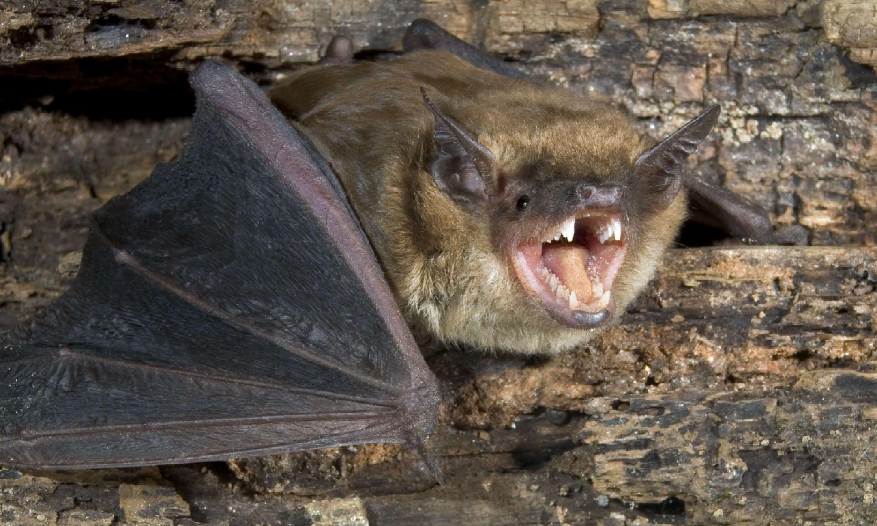 Brown bat (Shutterstock)