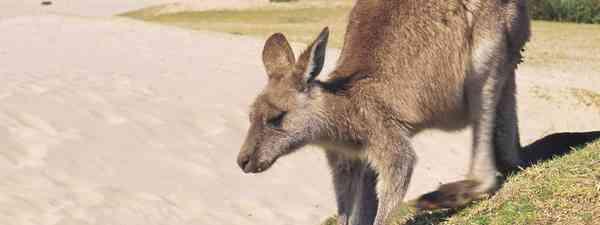 Kangaroo, Pebbly Beach (Destination NSW)