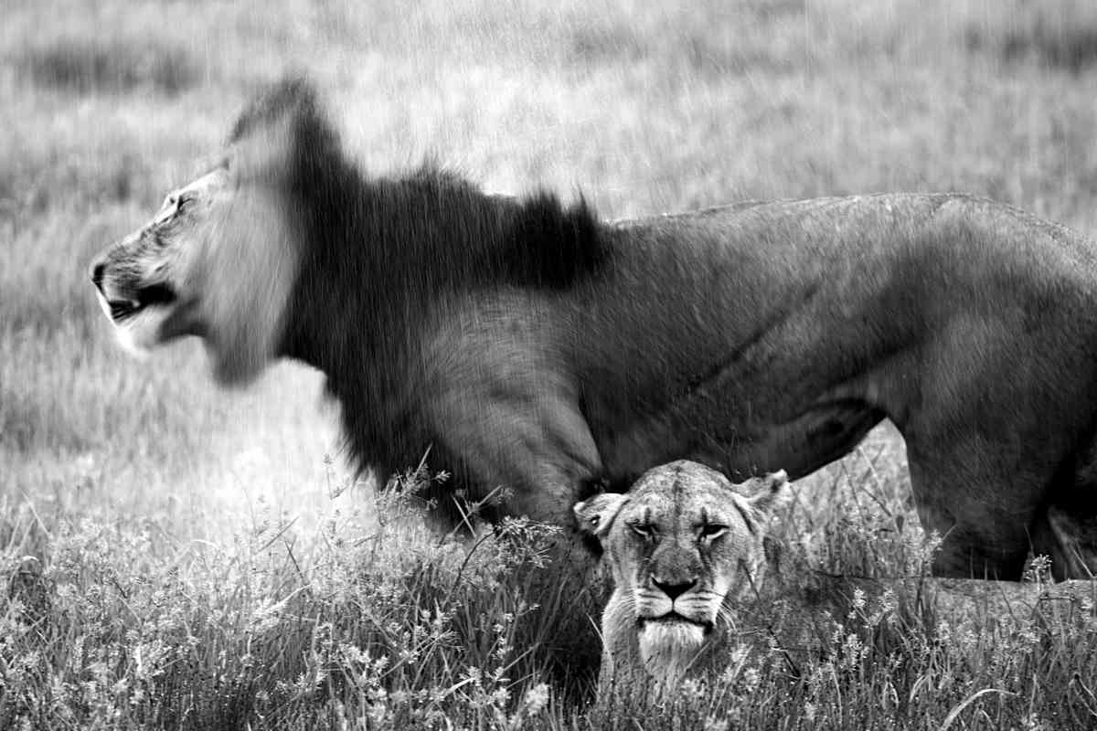 Lions in the rain (Miguel De Freitas)