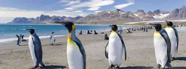 king penguins south georgia (dreamstime.com)