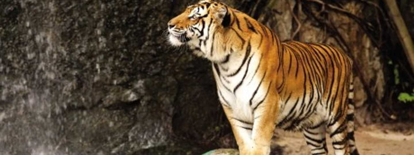 How to see tigers sustainably in the wild (dreams time)