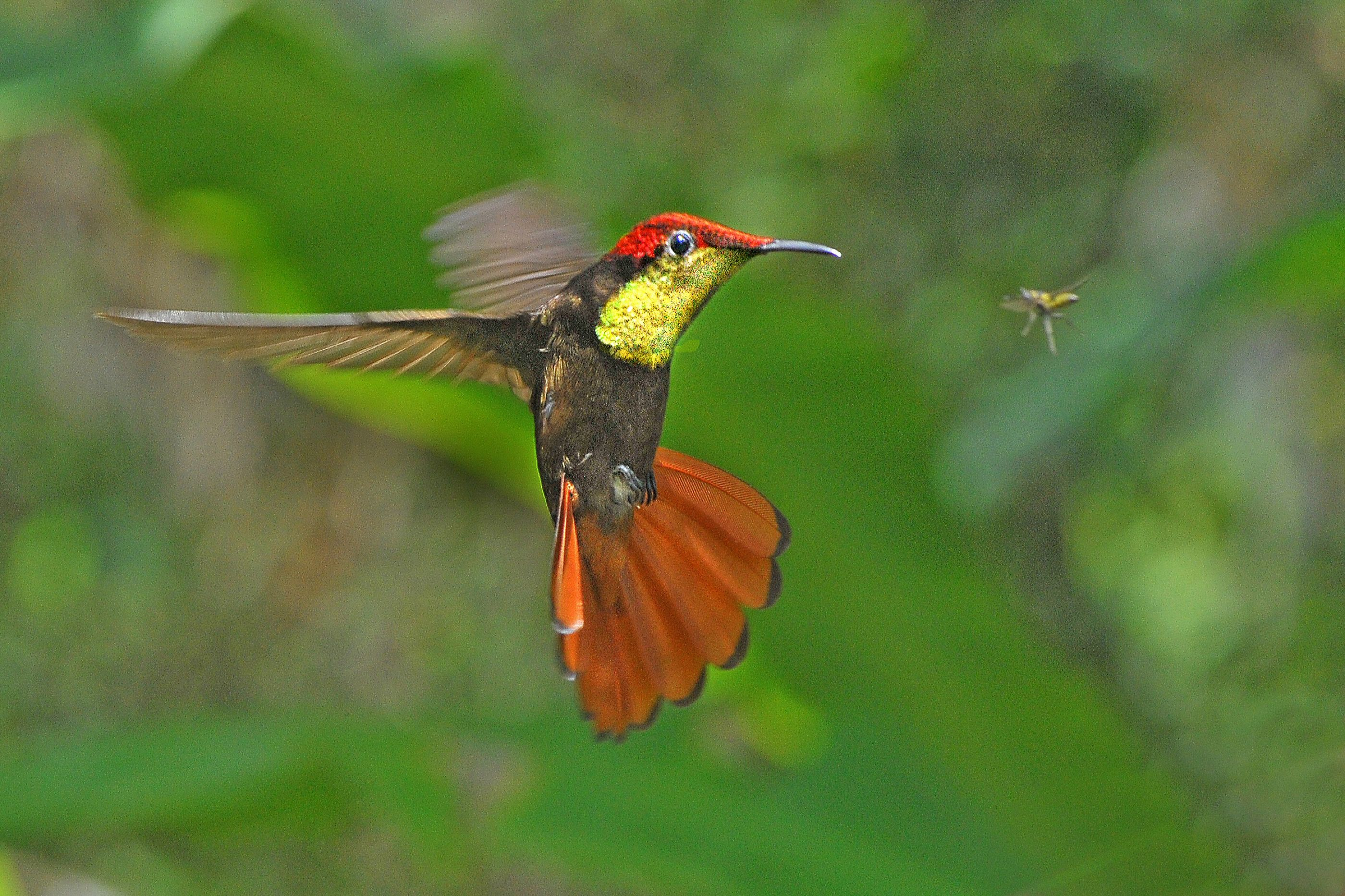 Hummingbird in Trinidad (Tim Withall)