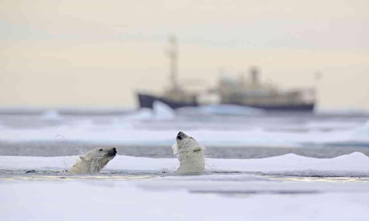 Polar bears in Svalbard (Shutterstock.com)