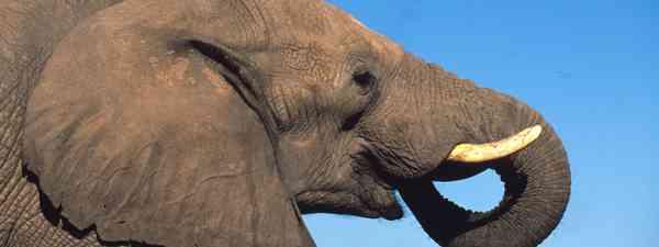African elephant (Martin Harvey / WWF)