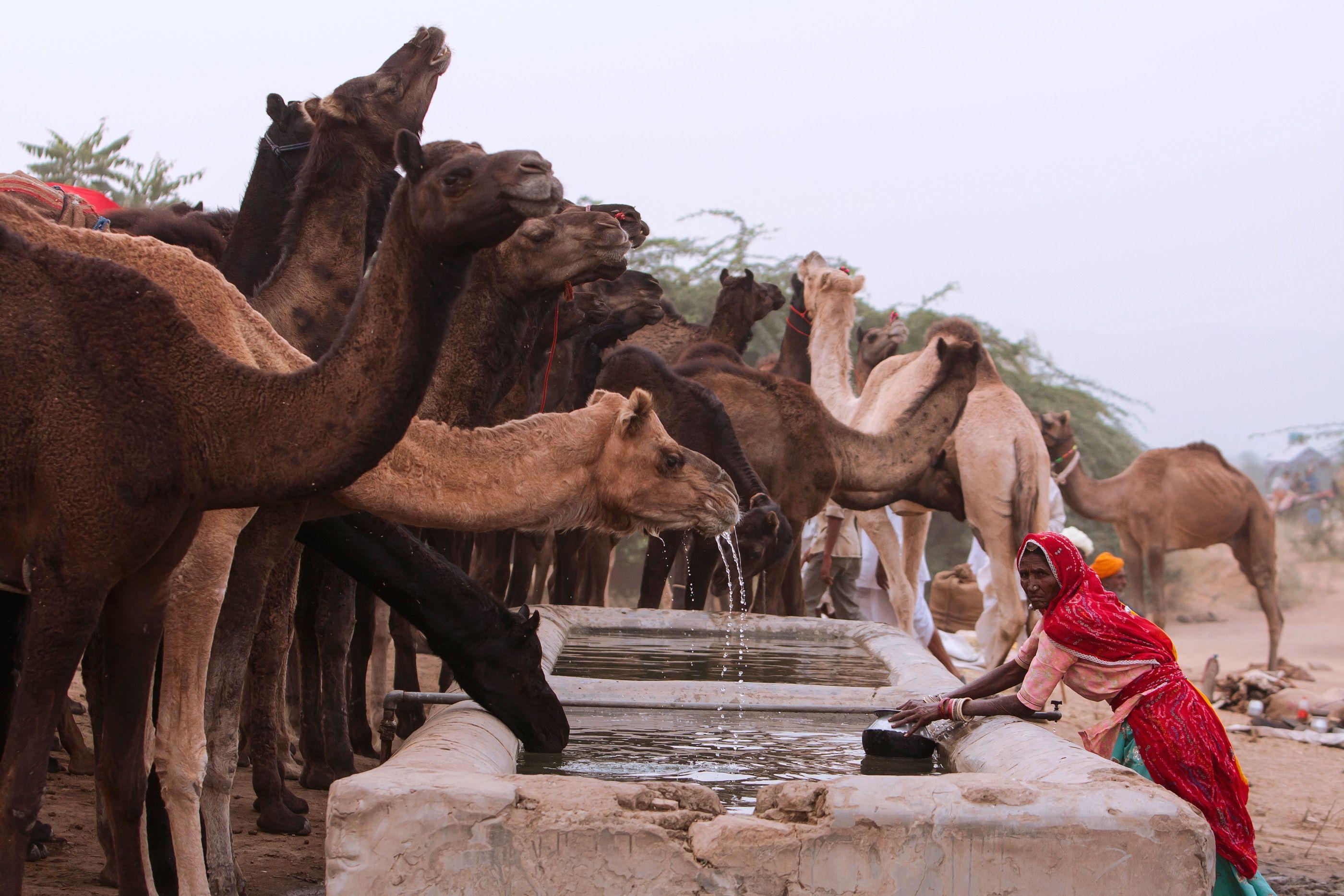 Pushkar Camel Market (Khairel Anuar Che Ani)