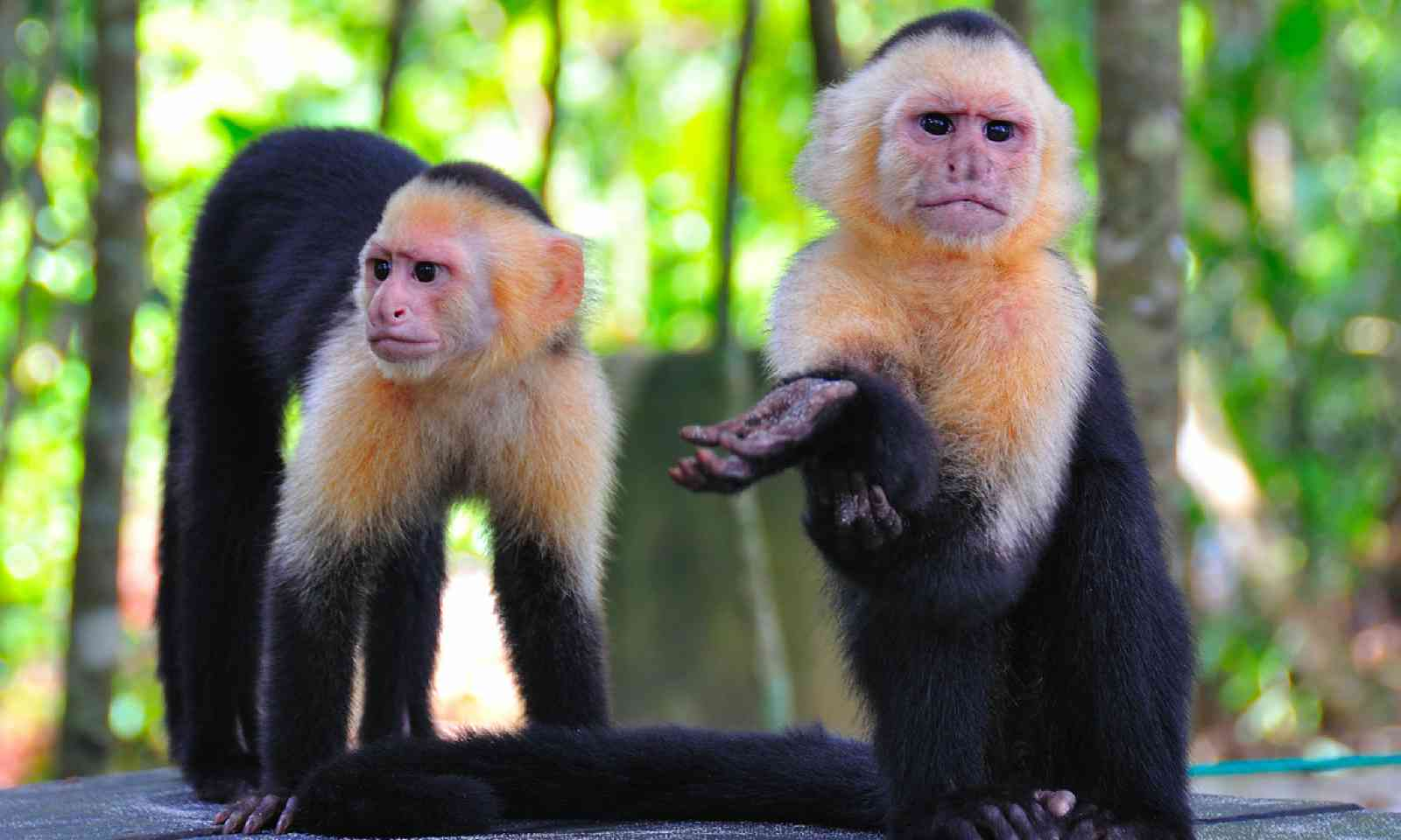 Spider monkeys in Costa Rica (Dreamstime)