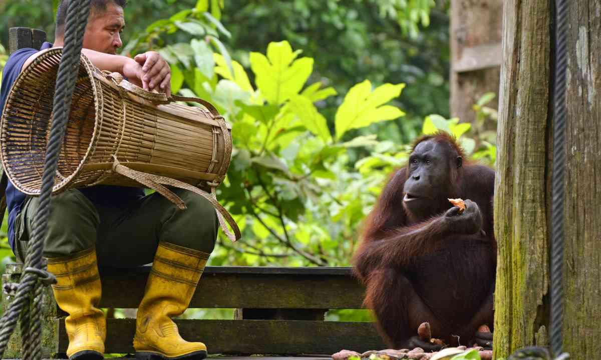 Volunteer feeding an orangutan (Dreamstime)