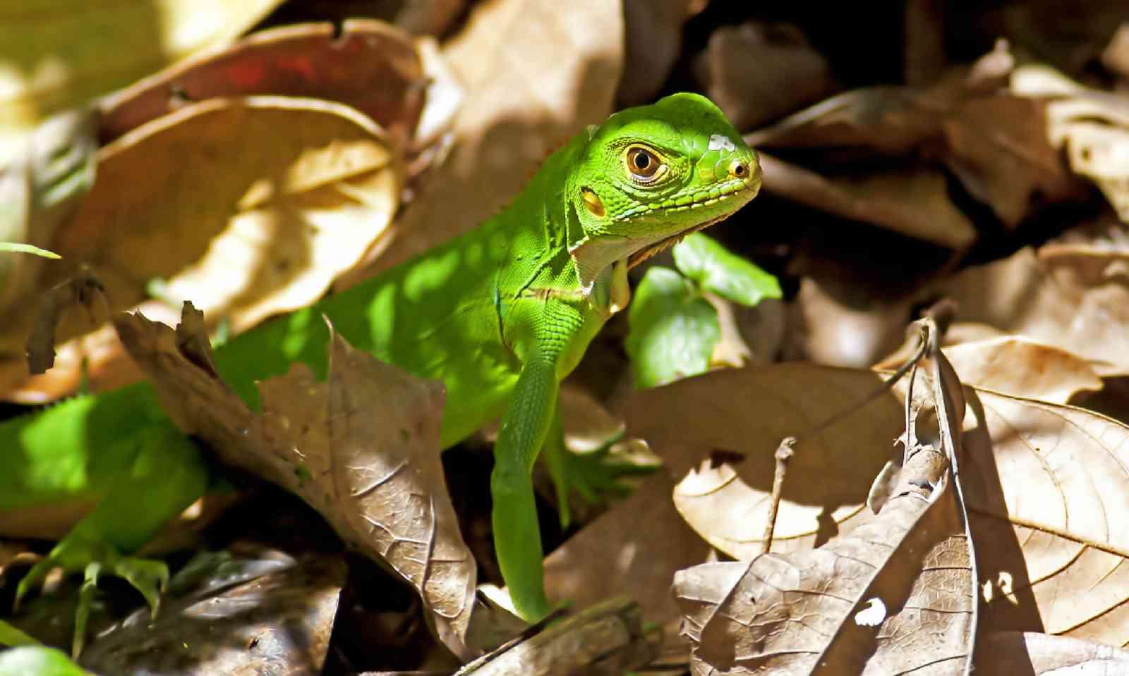 Juvenile green Iguana in Manuel Antonio National Park (Shutterstock)