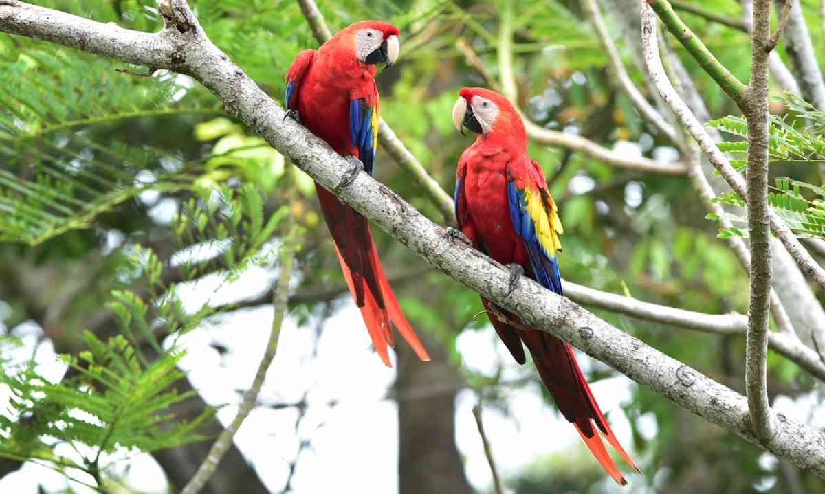 Scarlet macaws in Corcovado National Park (Shutterstock)