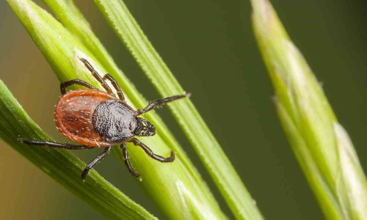 A tick on a plant straw (Shutterstock)