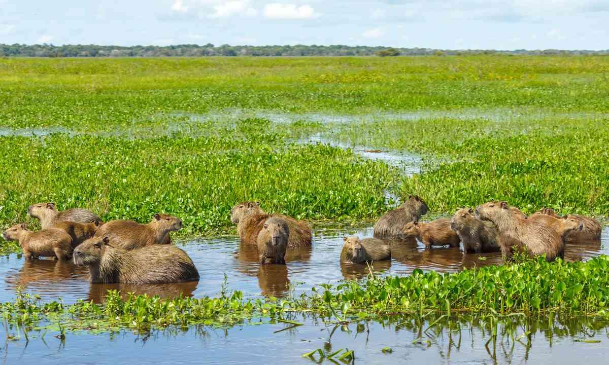Capybara with their kids in the El Cedral, Los Llanos (Shutterstock.com)